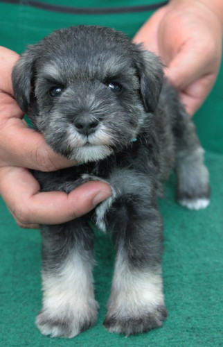 ลูกสุนัขมิเนเจอร์ ชเนาเซอร์ เพศผู้  สี Salt  pepper  เชือกคอสีฟ้า