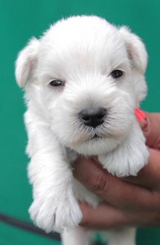 ลูกสุนัขมิเนเจอร์ ชเนาเซอร์ เพศผู้  สี White   เชือกคอสีแดง