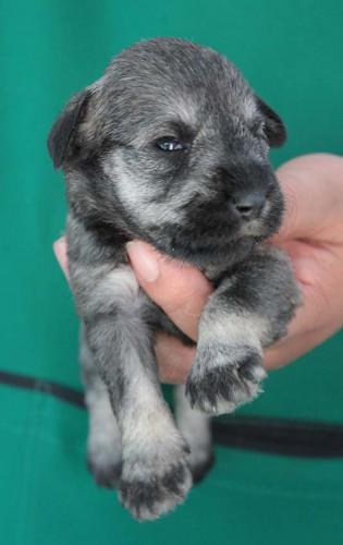 ลูกสุนัขมิเนเจอร์ ชเนาเซอร์ เพศเมีย  สี SaltPepper   เชือกคอสีชมพู