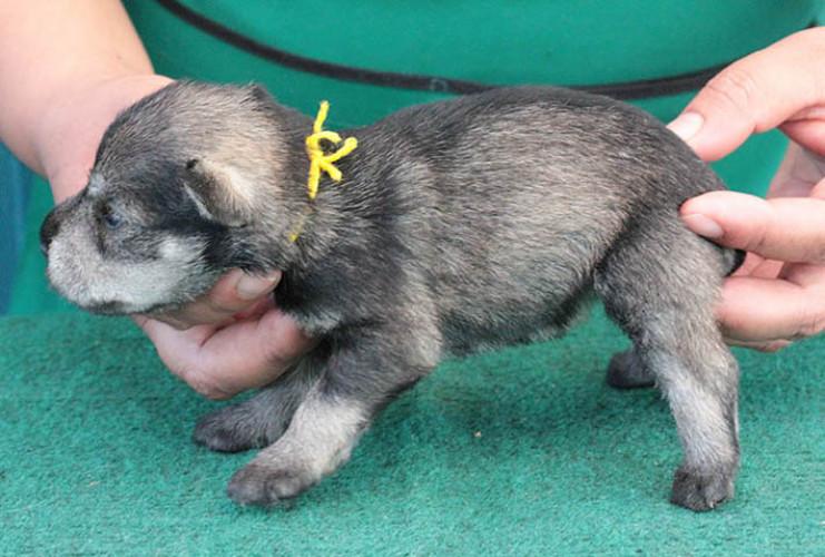 ลูกสุนัขมิเนเจอร์ ชเนาเซอร์ เพศเมีย  สี Salt Pepper   เชือกคอสีเหลือง 2