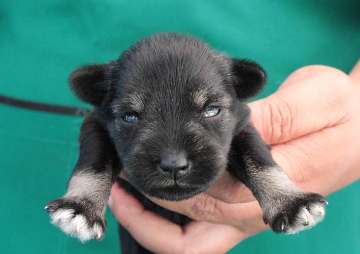 ลูกสุนัขมิเนเจอร์ ชเนาเซอร์ เพศเมีย  สี Salt&Pepper   เชือกคอสีชมพู